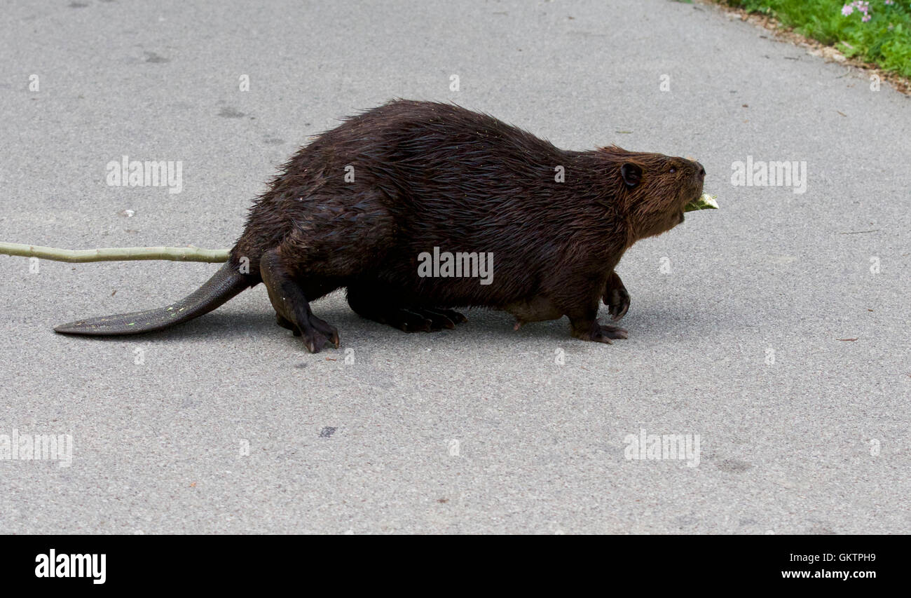 Isolated close image with a funny Canadian beaver - Stock Image