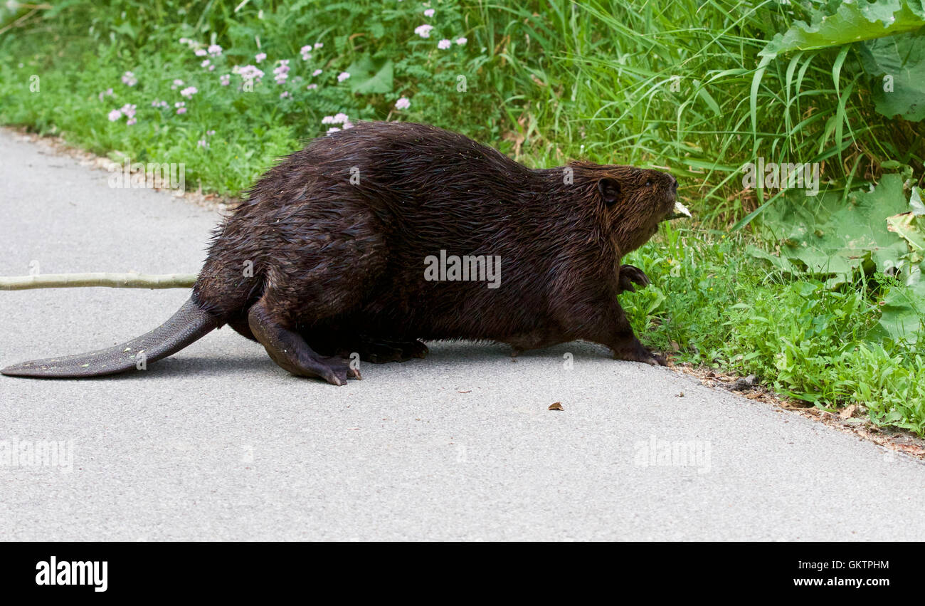 Isolated close image with a Canadian beaver entering the grass - Stock Image