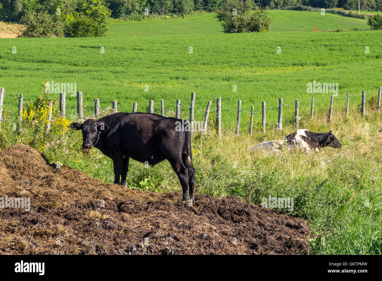 Holstein Cow ruminating  in the pasture - Stock Image