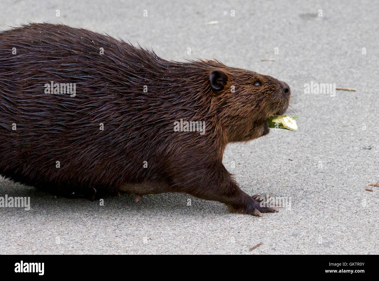 Isolated close image with a Canadian beaver - Stock Image