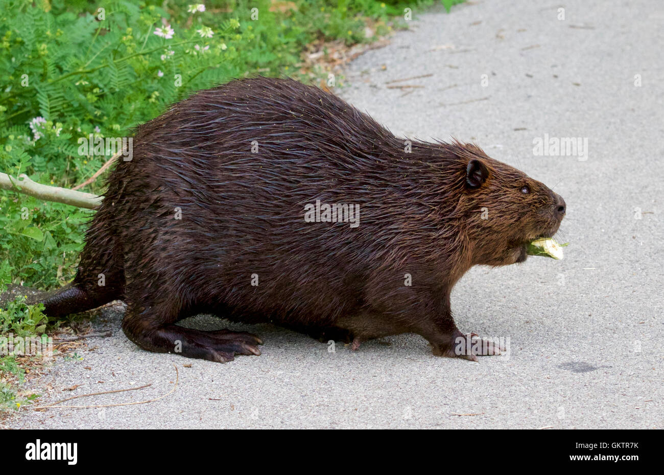 Isolated close image with a Canadian beaver on the road - Stock Image