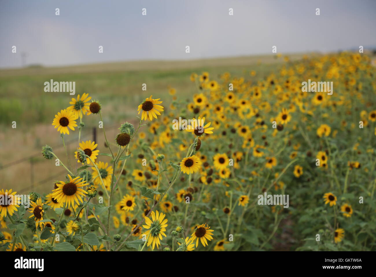 Sunflowers in Carr, Colorado - Stock Image