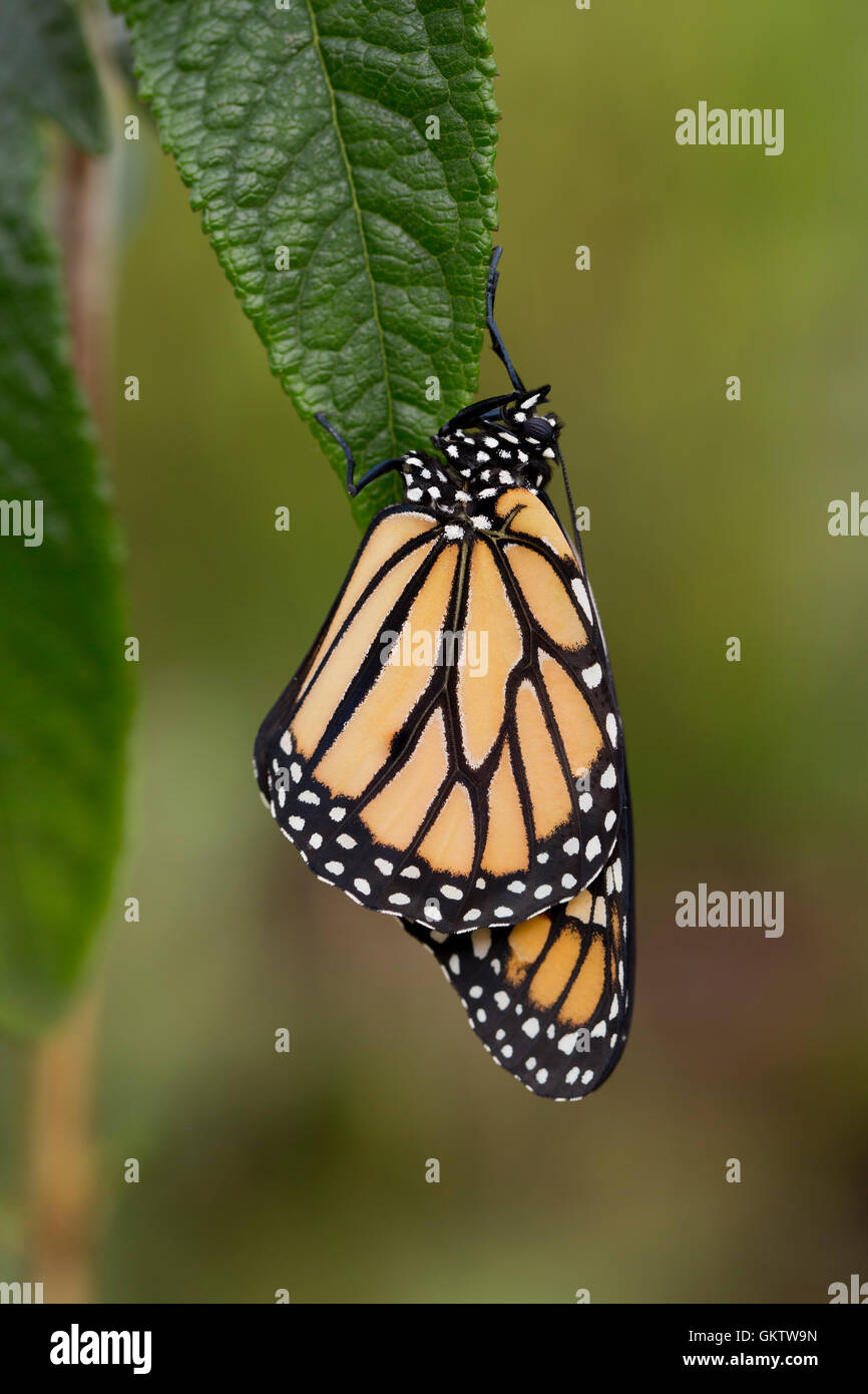 Monarch Butterfly ; Danaus plexippus Single on Leaf UK - Stock Image