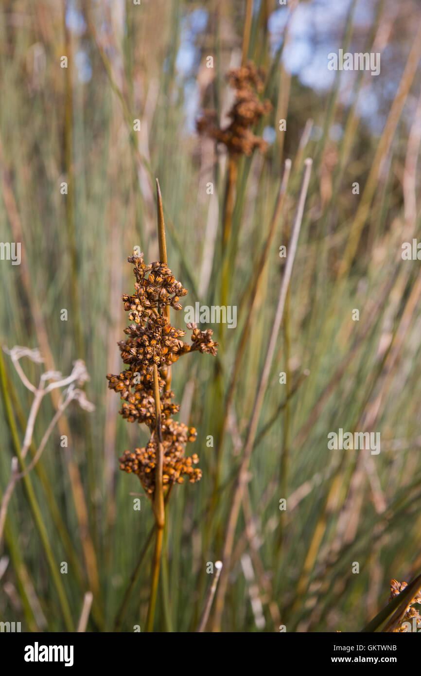 Spiny Rush; Juncus acutus Flower Cornwall; UK - Stock Image