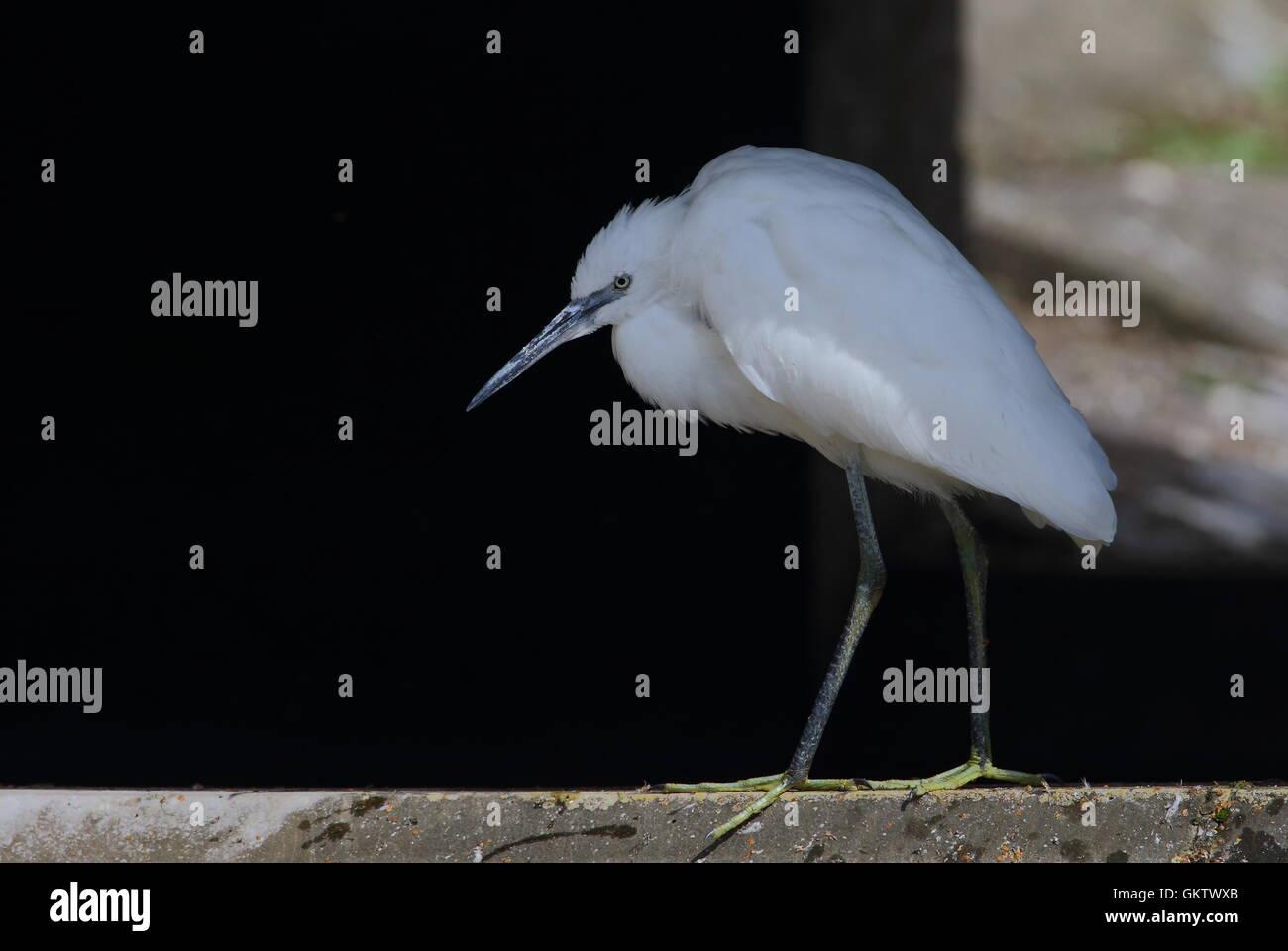 Little Egret - Stock Image