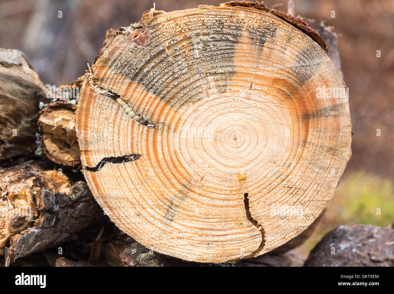 Fallen pine tree, cut with chainsaw, exposes tunnels created in the wood by  Round Headed Borer larva, in North - Stock Image