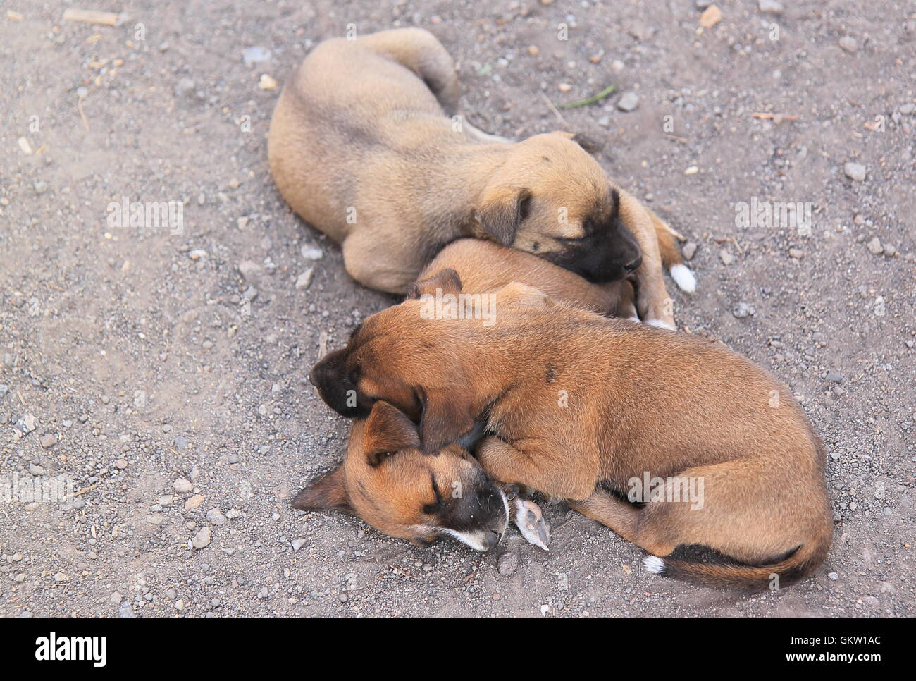 Baby dogs sleeping in Indonesia - Stock Image