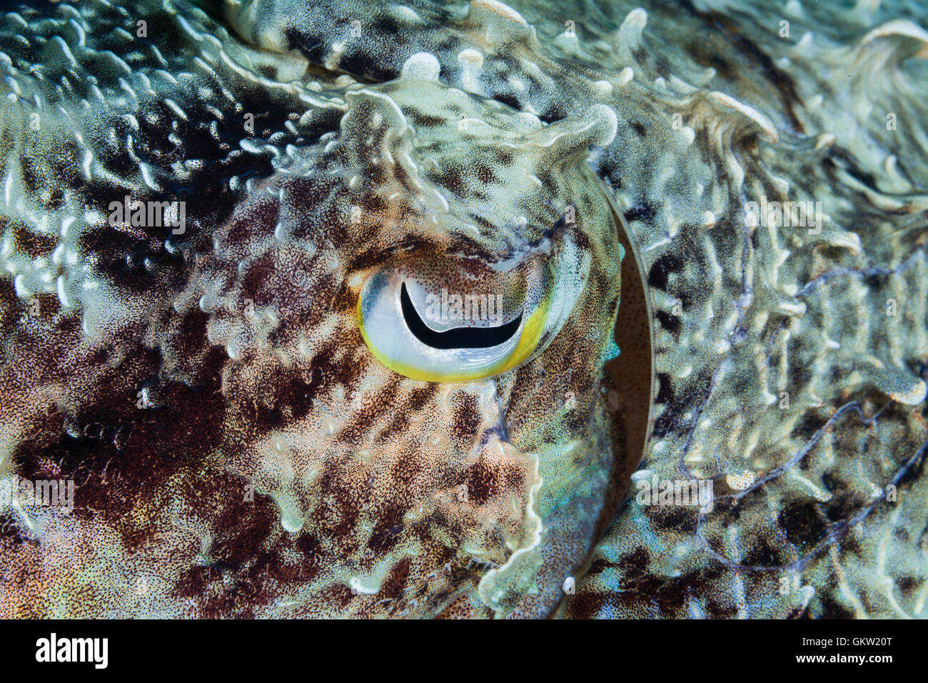 Eye of Cuttlefish, Sepia sp., Ambon, Moluccas, Indonesia - Stock Image