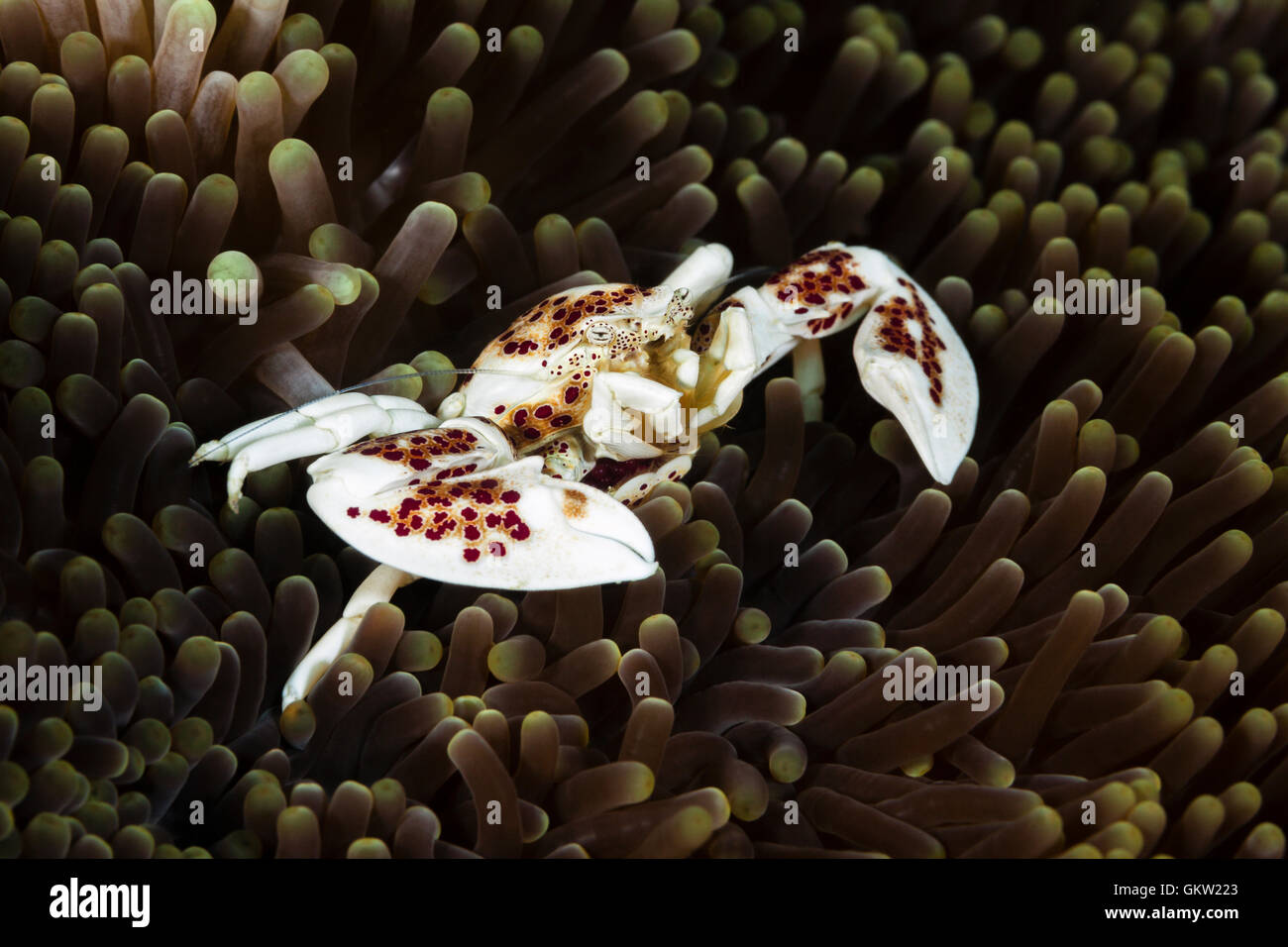 Porcelain Crab in Sea Anemone, Neopetrolisthes oshimai, Ambon, Moluccas, Indonesia Stock Photo
