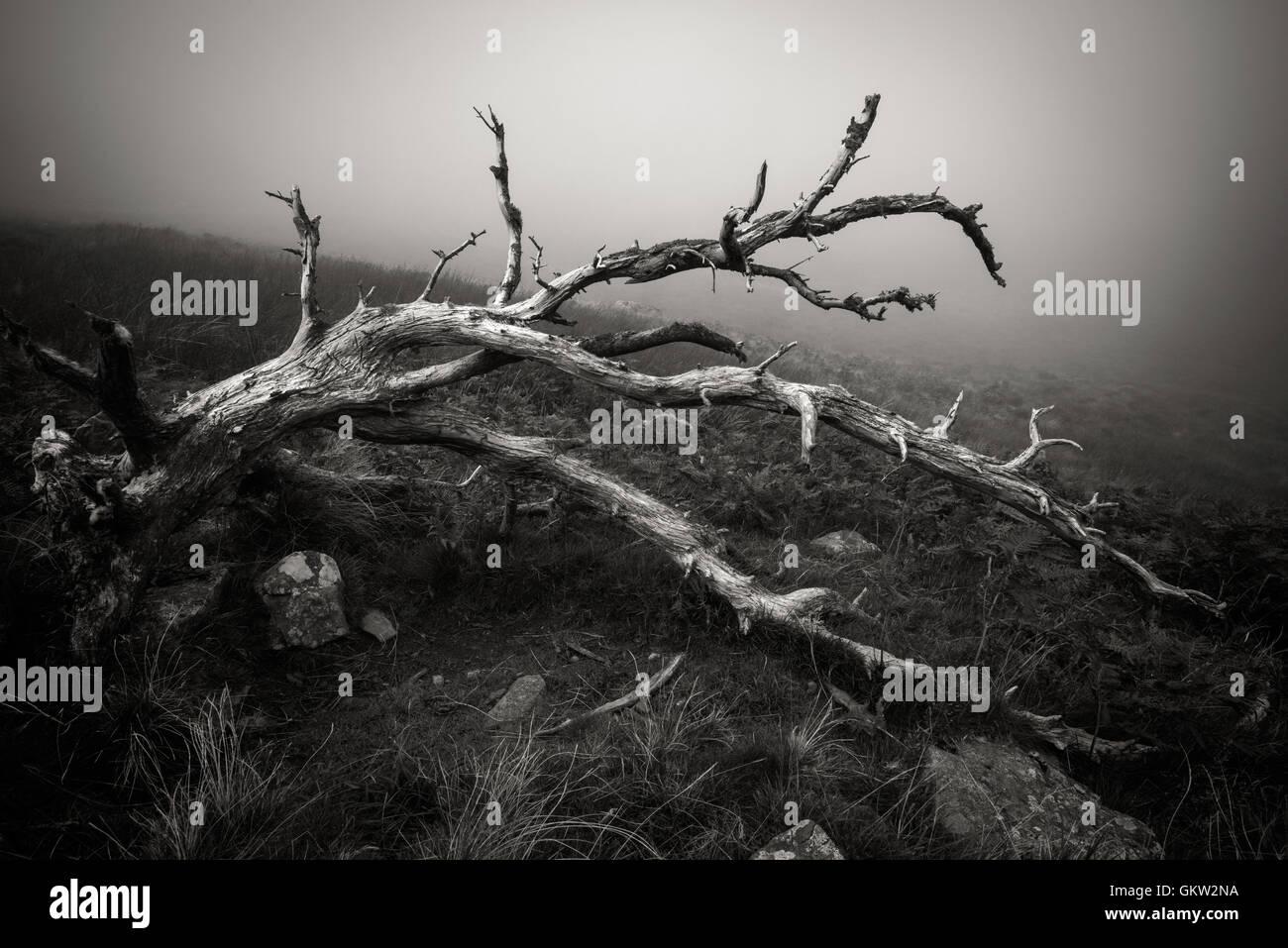 Fallen tree at Glenridding Dodd - Stock Image