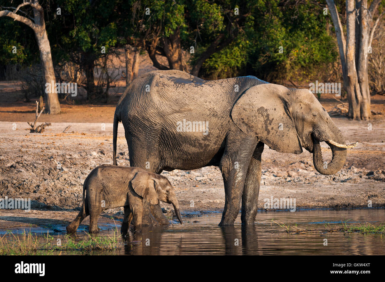 One elephant and its cub drinking water in the Chobe River, Chobe National Park, in Botswana, Africa - Stock Image