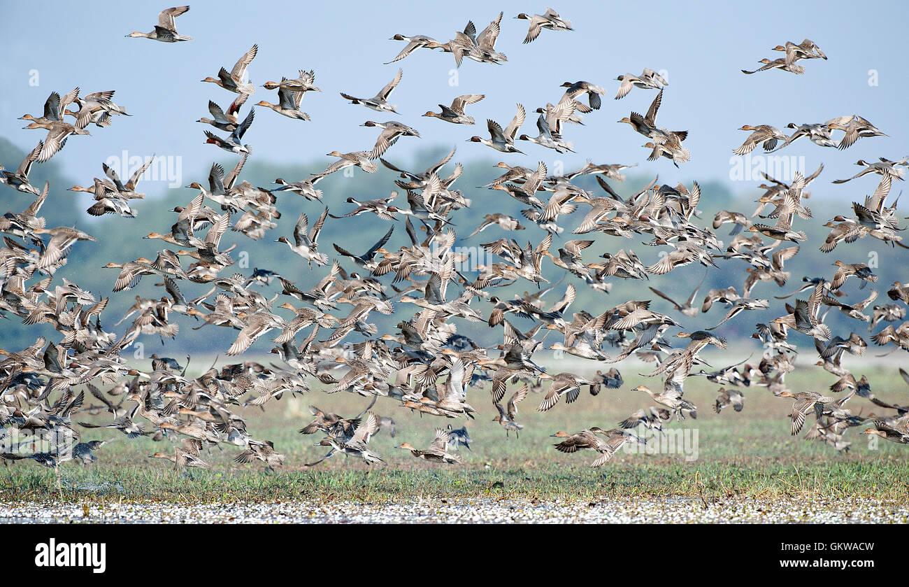 The image of Flock of Mix migratory ducks in Keoladev national park, Bharatpur, India - Stock Image