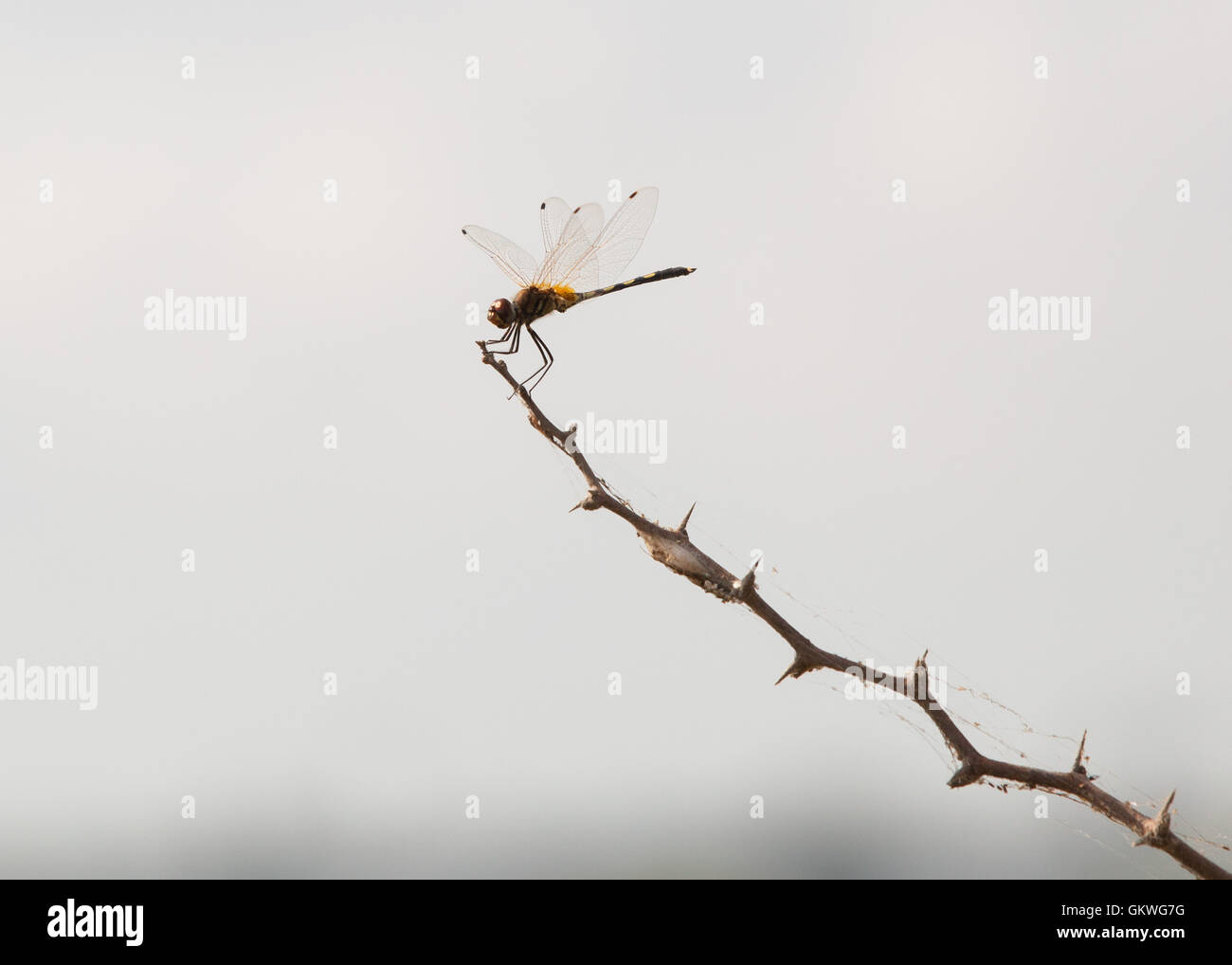 Dragonfly resting on twig in Koonthankulam Bird Sanctuary, Tamil Nadu,India,   travel - Koonthanku - Stock Image