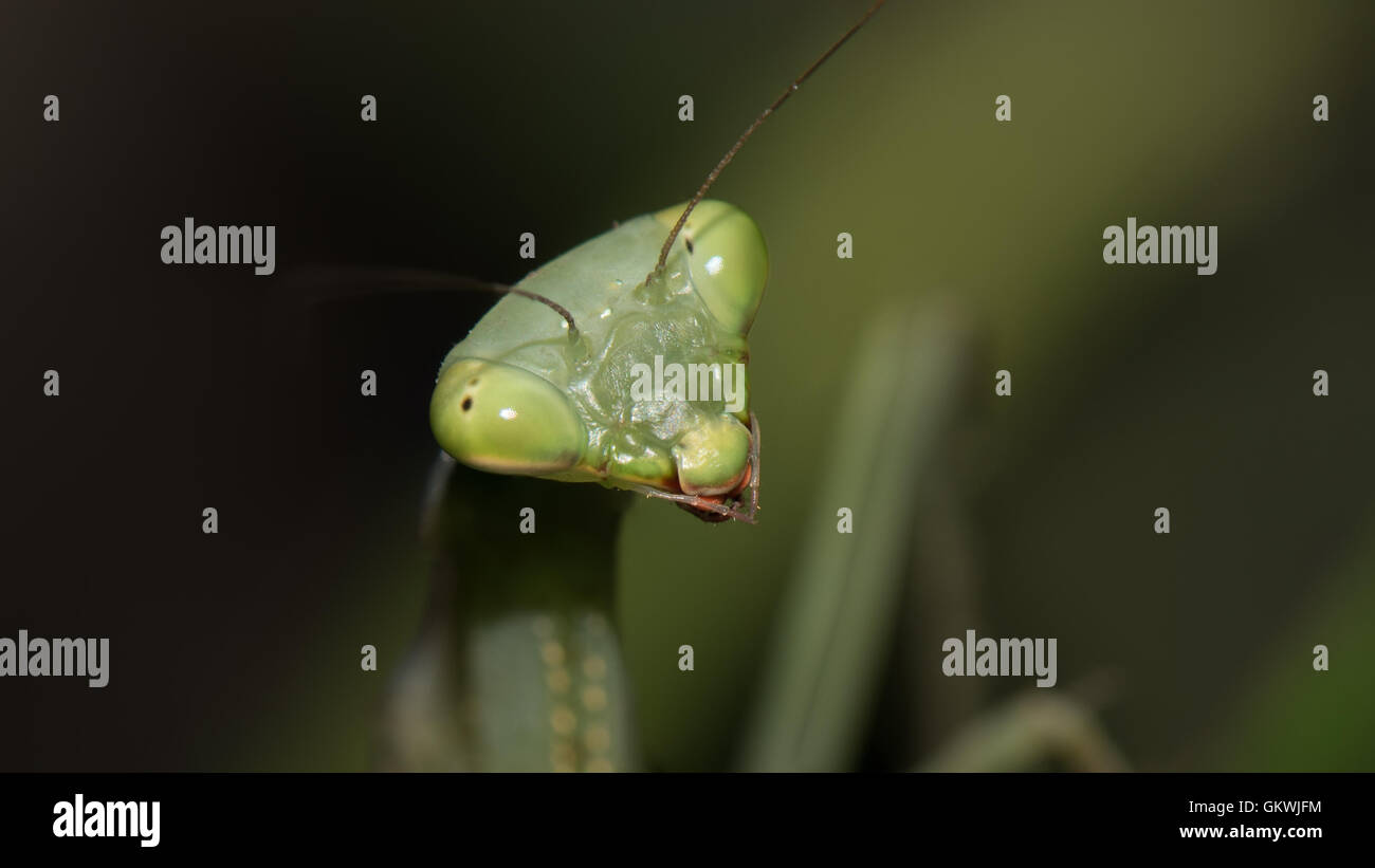 Cute little (female) mantis - and she was rather curious about this flashing light in her eyes... - Stock Image