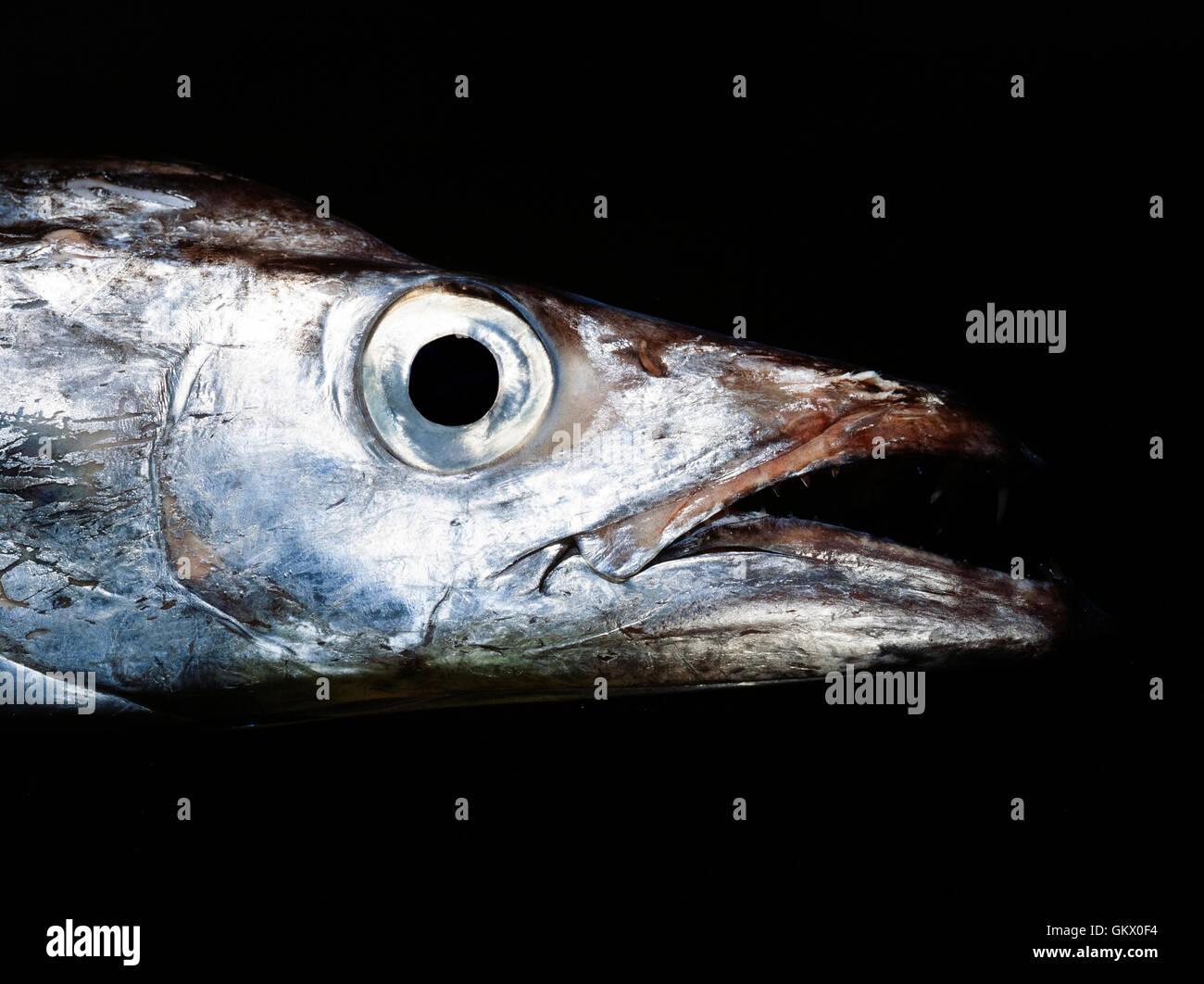 Silver scabbardfish, Lepidopus caudatus. Portugal - Stock Image