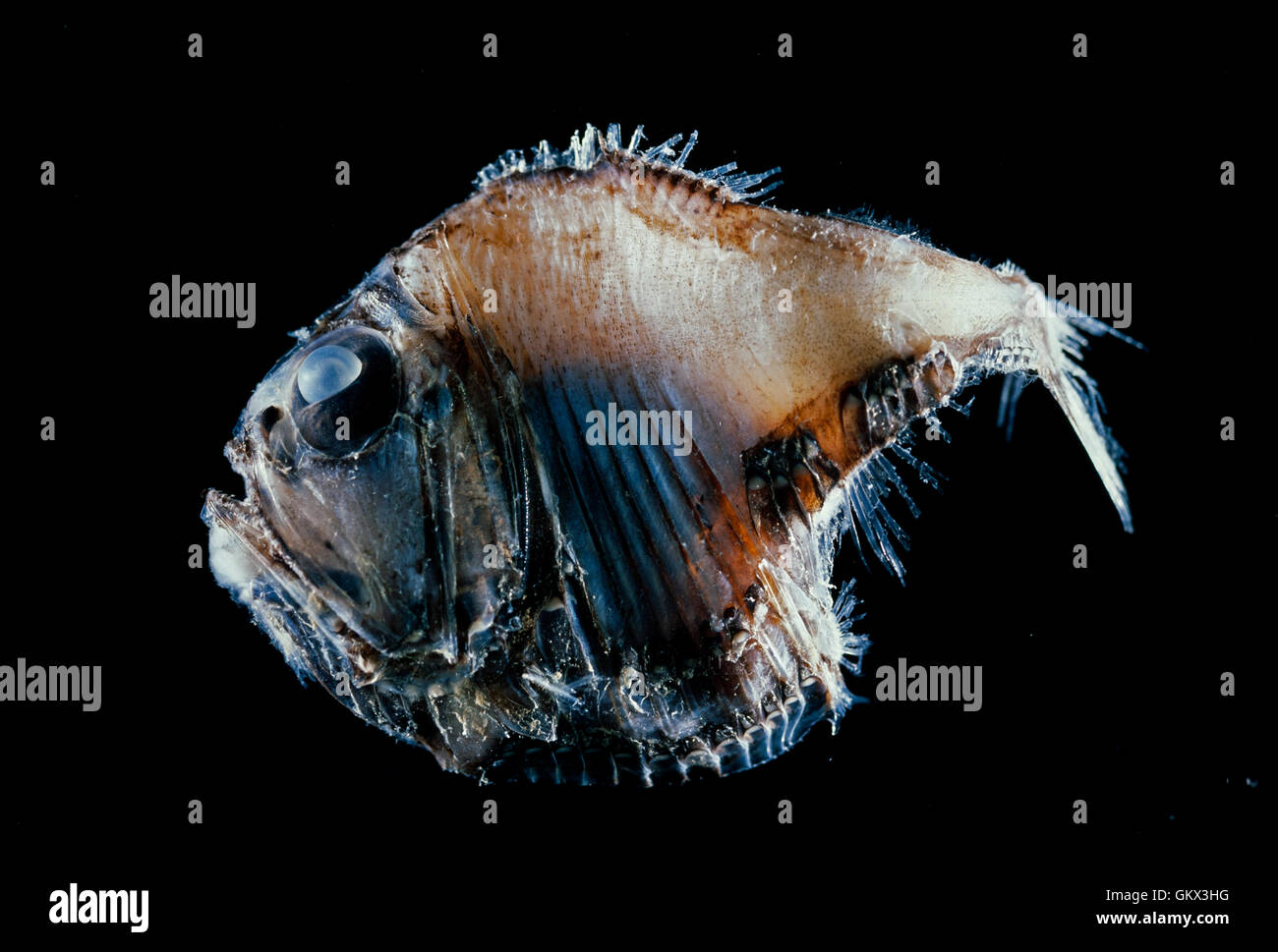 Lovely hatchetfish, Argyropelecus aculeatus. Portugal - Stock Image