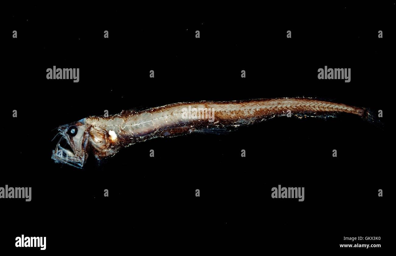 Dana viperfish, Chauliodus danae. Portugal Stock Photo