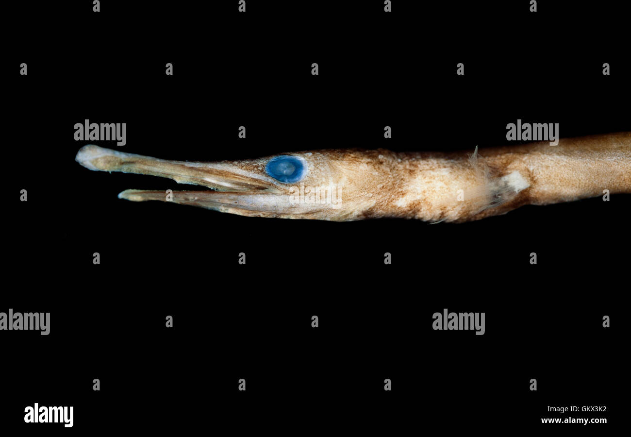 Duckbill oceanic eel, Nessorhamphus ingolfianus. Portugal Stock Photo