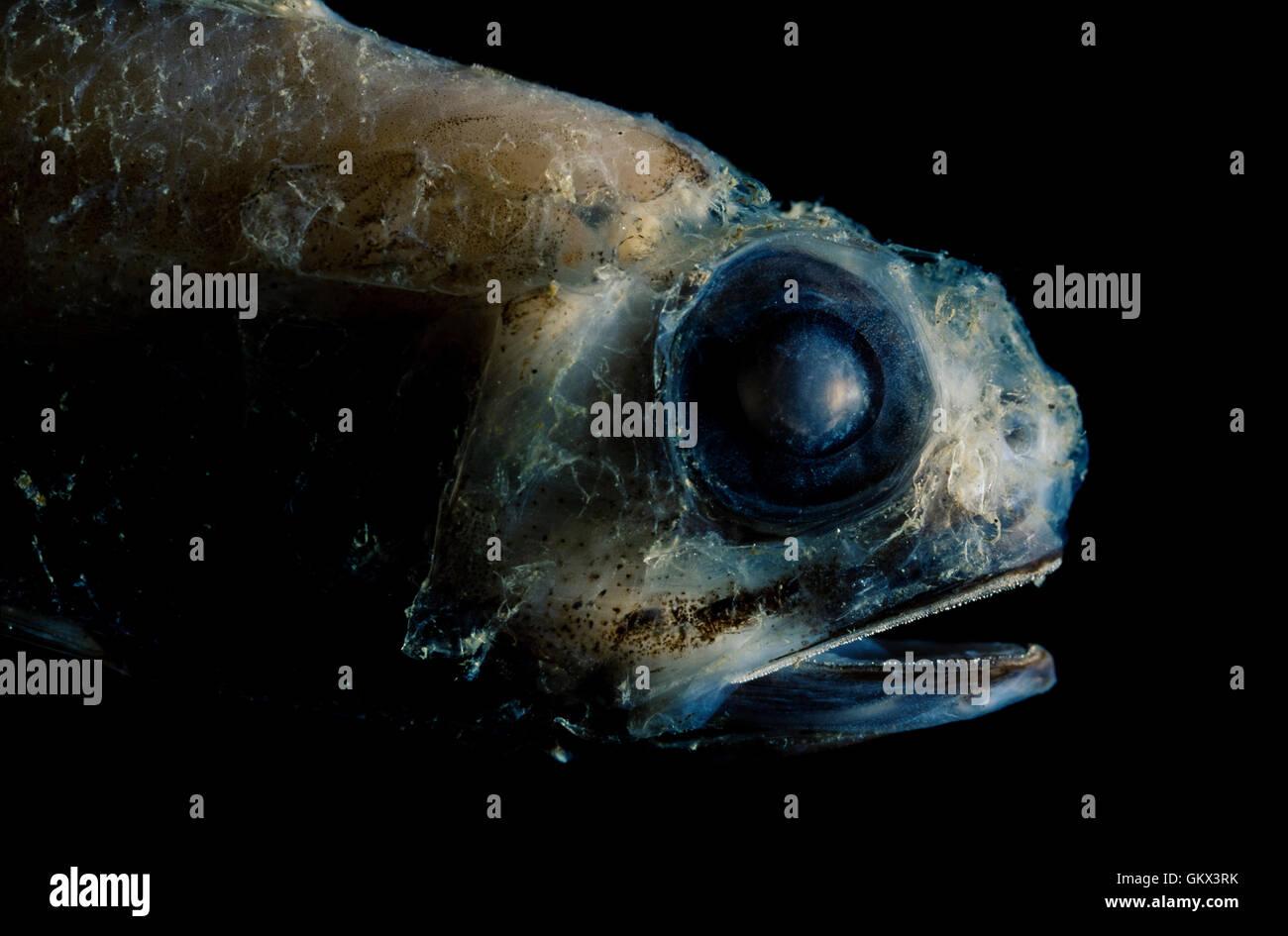 Glasshead grenadier, Hymenocephalus italicus. Portugal - Stock Image