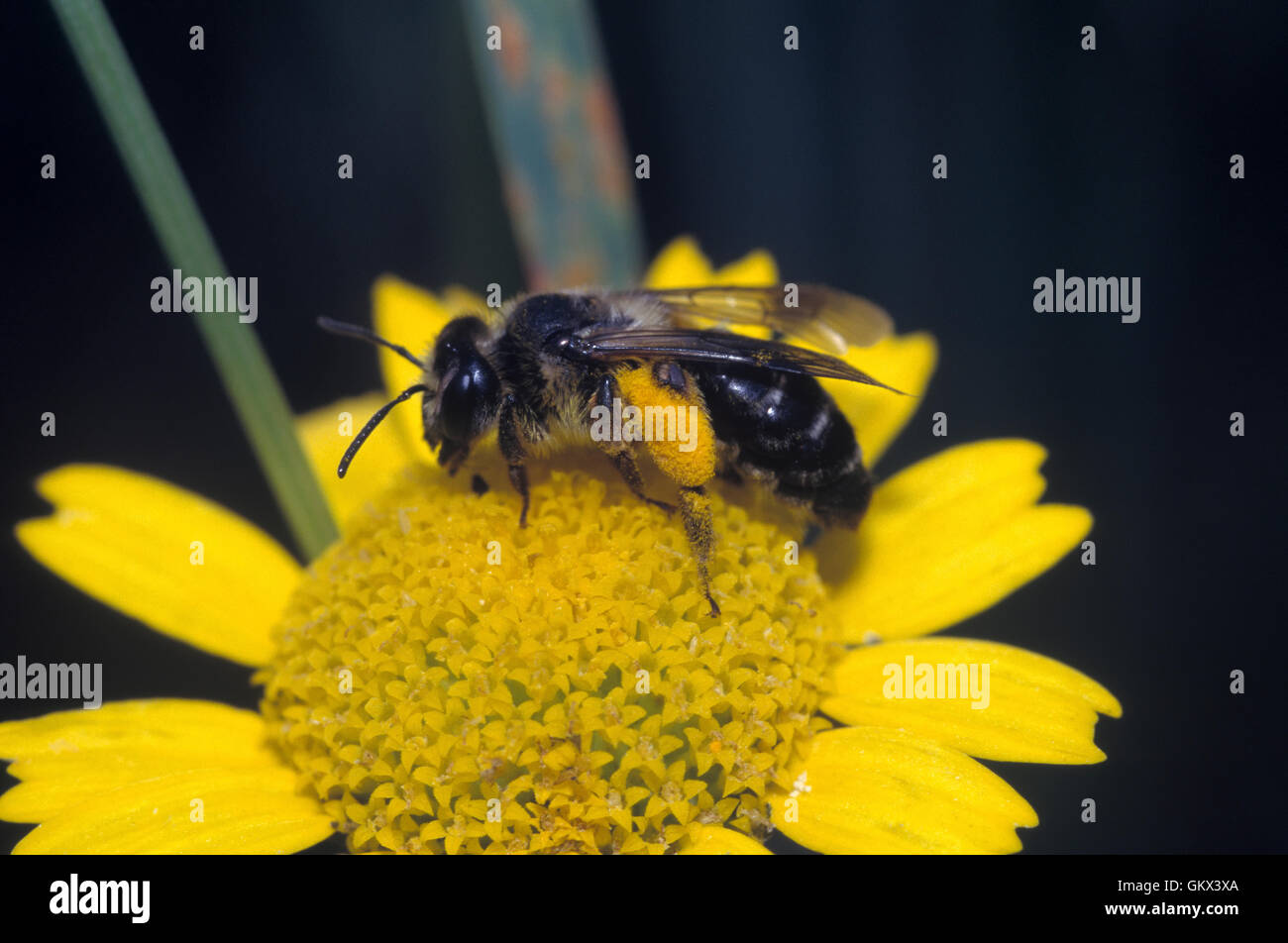 Sweat bee, Halictus rubicundus, on yellow flower with rear legs full of pollen. Portugal - Stock Image