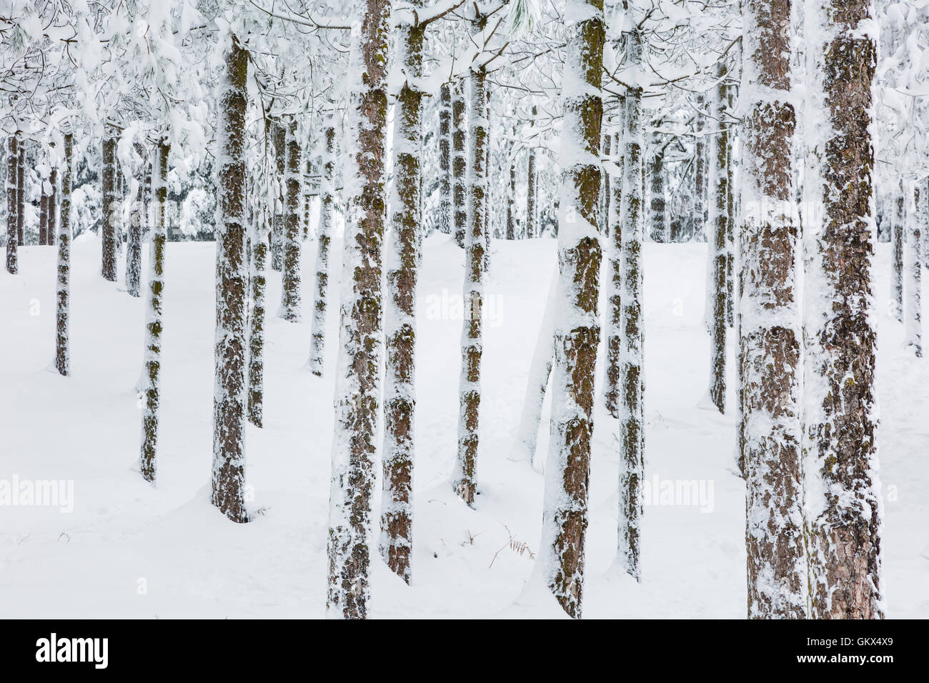 Conifer forest in winter. - Stock Image