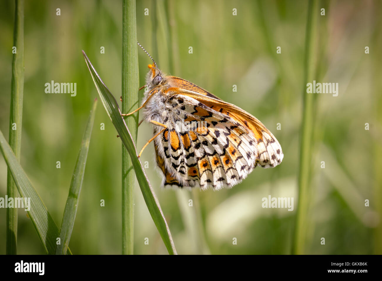 A butterfly on a blade of grass - Stock Image
