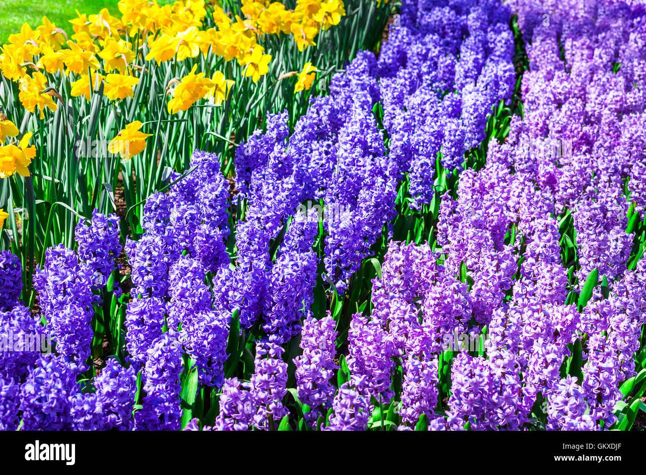 Beautiful garden with blooming hyacinthus in Keukenhof park, Holland - Stock Image