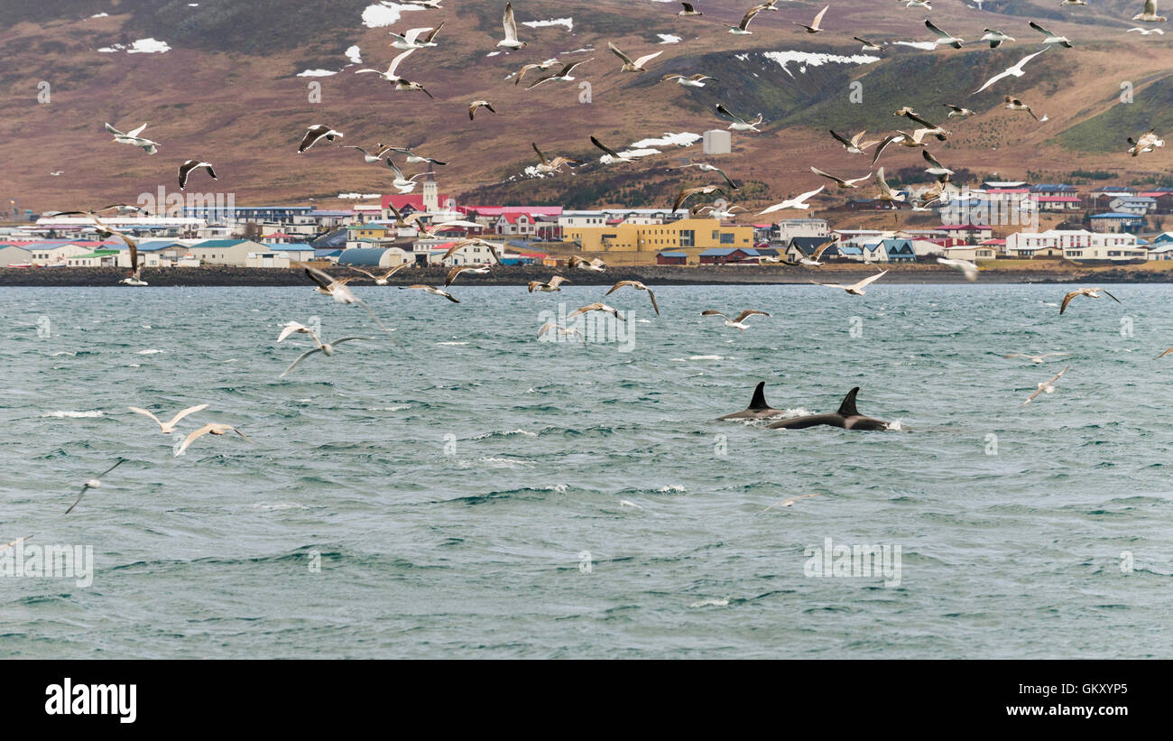 Killer whales, orcas ('Orcinus orca') near  Grundarfjörður, a town in the north of the Snaefellsnes - Stock Image