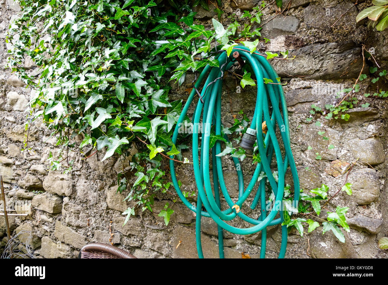 A coil of green hosepipe hanging on an old ivy covered wall - Stock Image