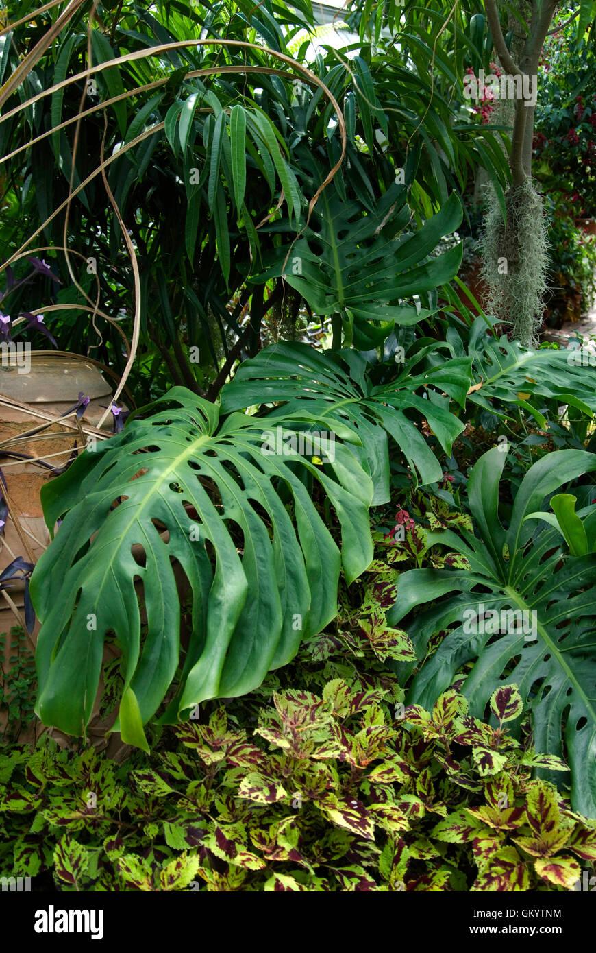 Philodendron pertusum , AKA  monstera - Stock Image
