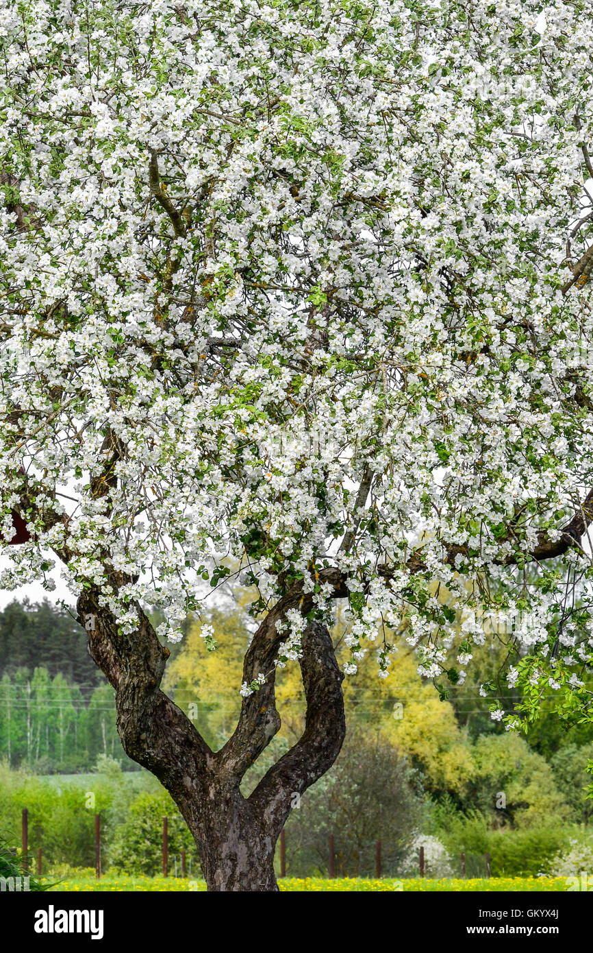 apple tree, spring, full of blooms - Stock Image