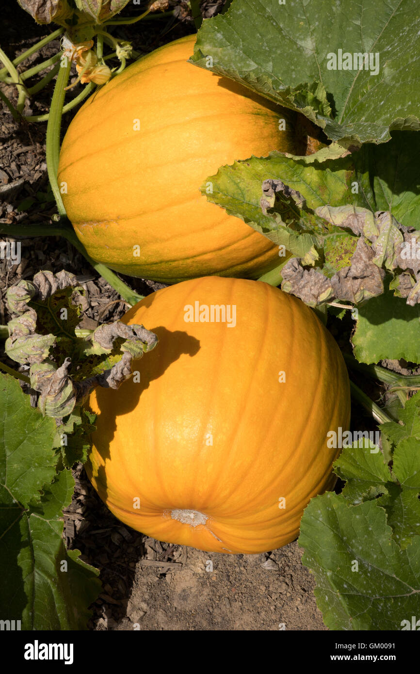 Pumpkins growing in a field in the UK - Stock Image