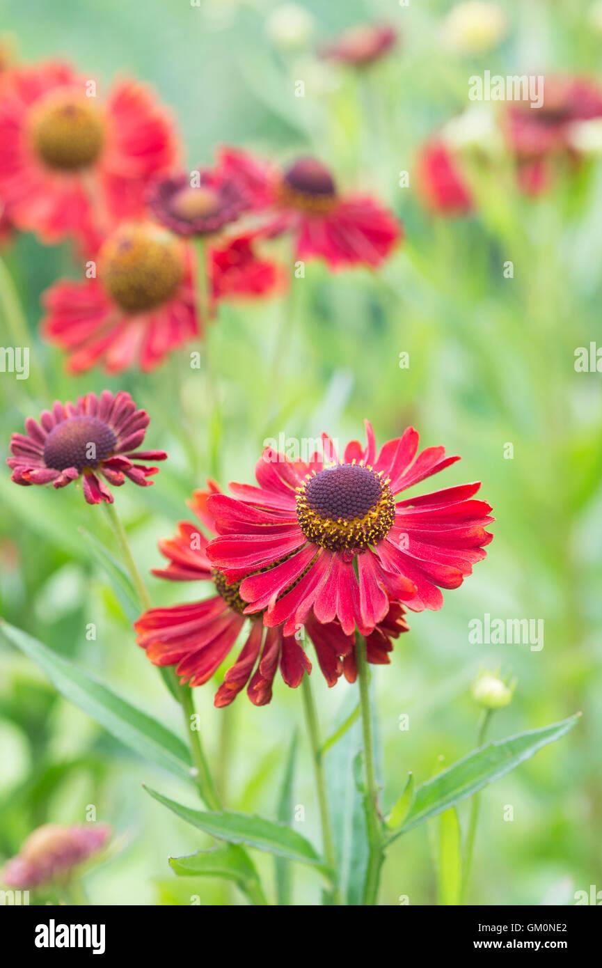 Helenium Autumnale 'Siesta'. Fall Helenium. Sneezeweed flowers. Dogtooth daisy 'Siesta' - Stock Image