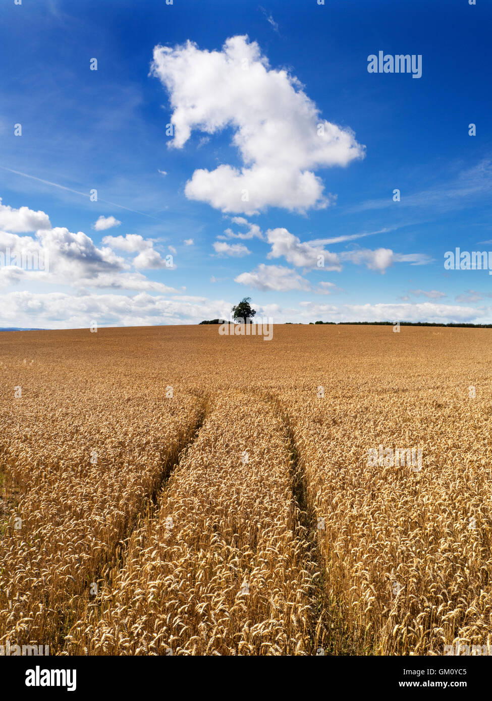 White Cloud Formation over a Wheat Field near Boroughbridge North Yorkshire England - Stock Image