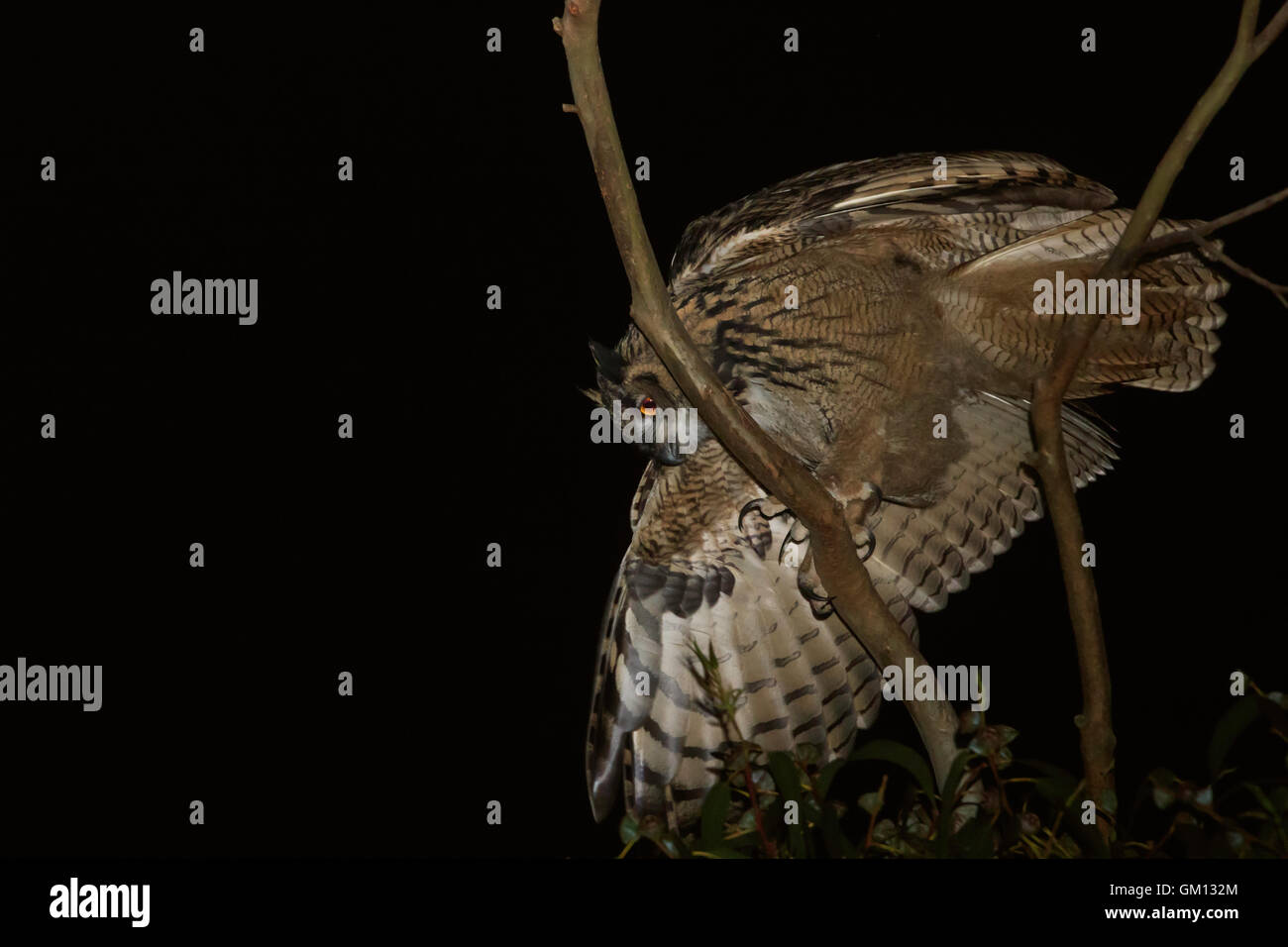 Juvenile Eurasian eagle-owl at night in a branch of an eucalyptus tree and losing balance - Stock Image