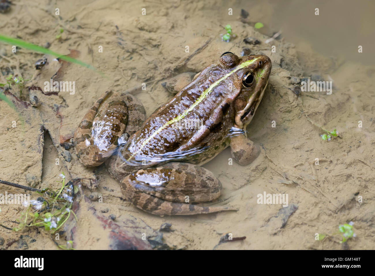 marsh frog pelophylax ridibunda in a puddle - Stock Image