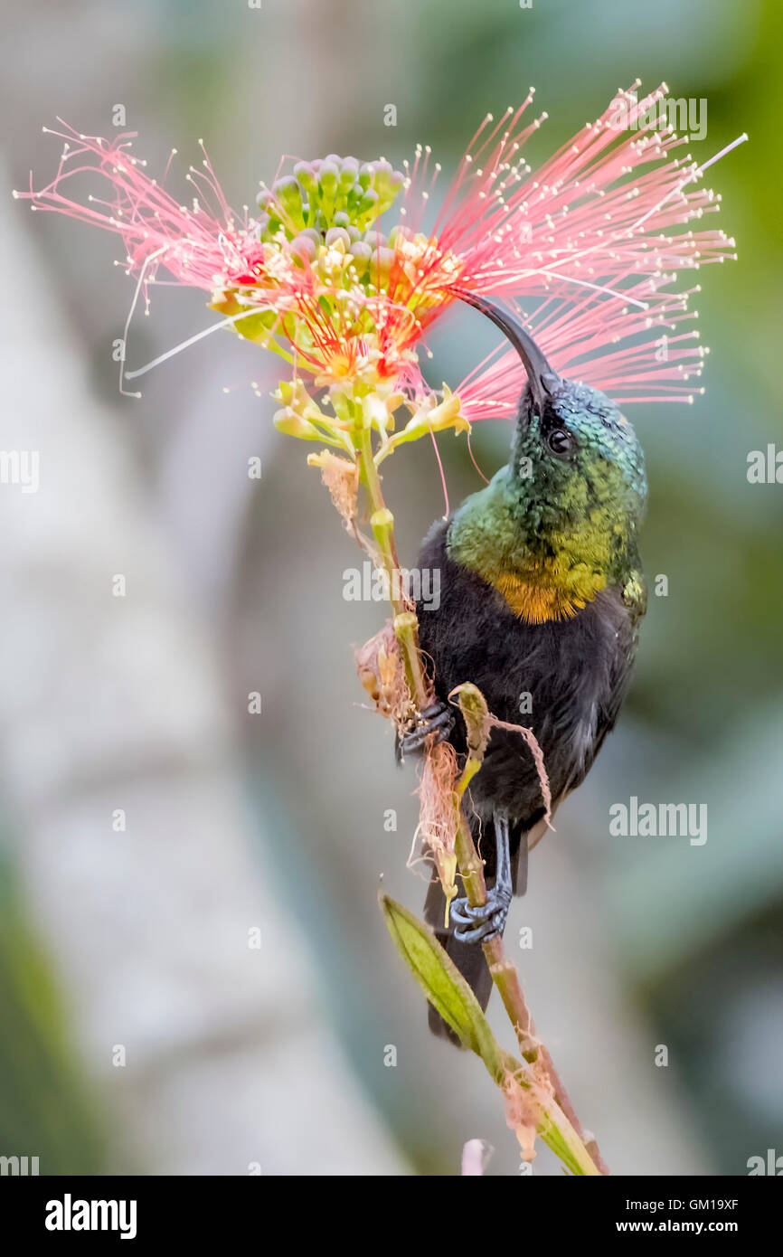 sunbird, bird, colorful, wildlife, background, animal, beautiful, nectar, nature, male, color, birdwatching, flower, Stock Photo