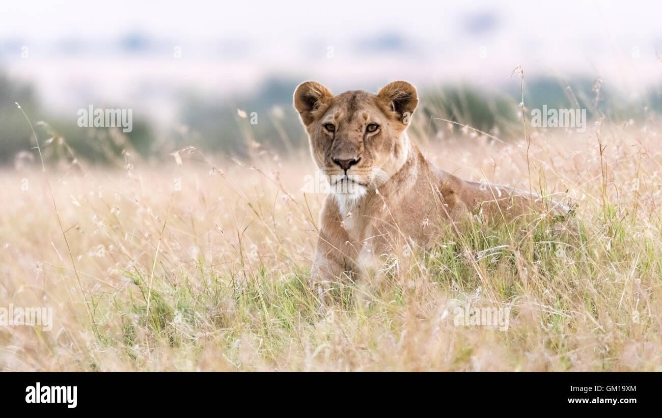 safari, kenya, nature, wildlife, wildebeest, africa, african, masai, mara, eating, dead, lion, cat, plains, wild, - Stock Image