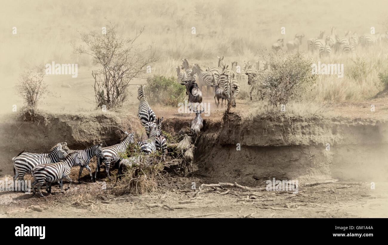 wildebeest, africa, migration, wildlife, kenya, mara, herd, safari, park, national, nature, wild, mammal, crossing, - Stock Image
