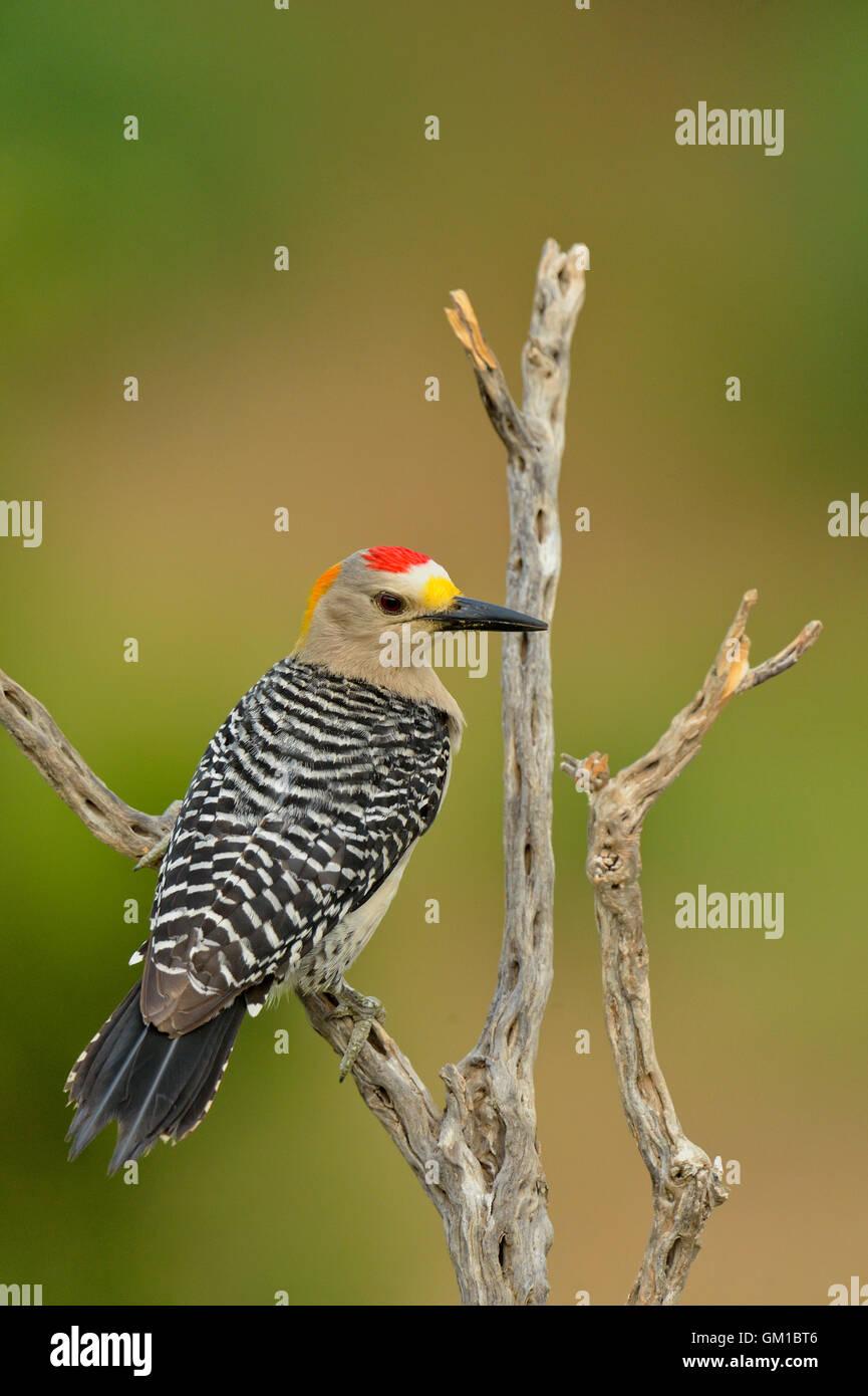 Golden-fronted woodpecker (Melanerpes aurifrons), Rio Grande City, Texas, USA Stock Photo
