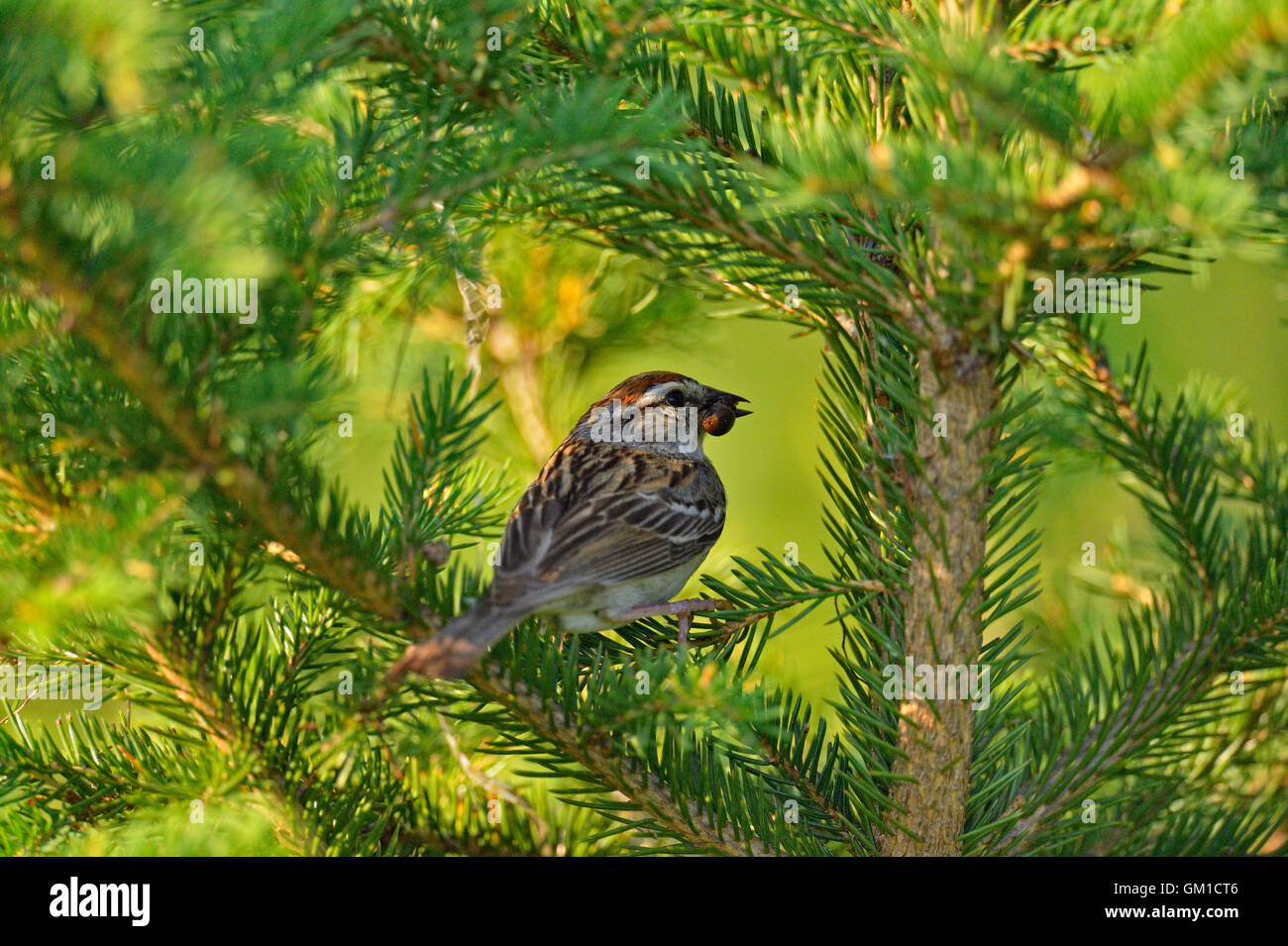 Chipping sparrow (Spizella passerina) Tending nest with young, Greater Sudbury, Ontario, Canada - Stock Image
