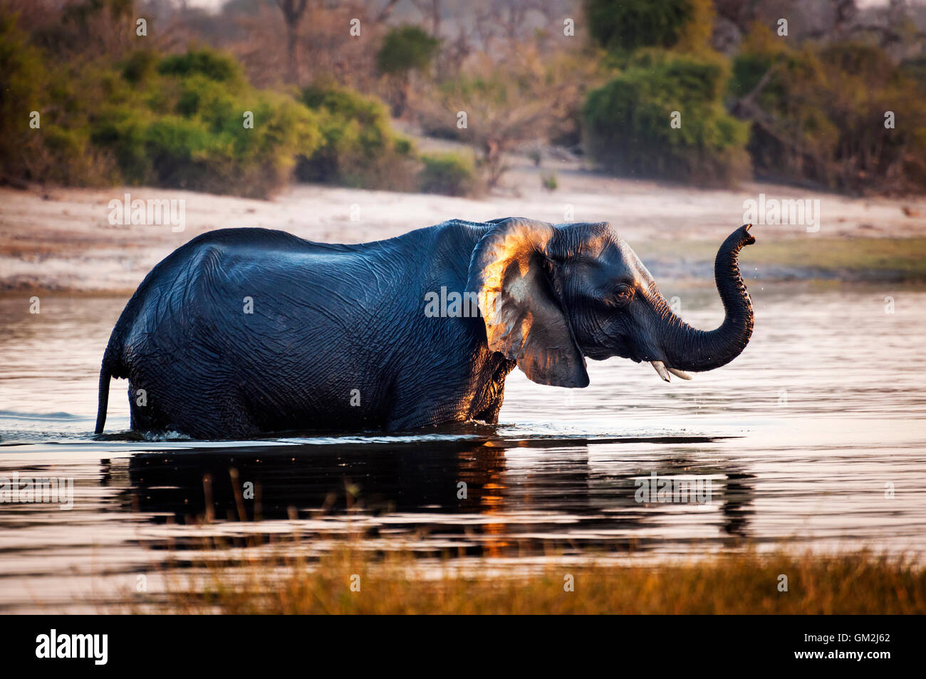 Elephant crossing the Chobe River, in the Chobe National Park, in Botswana, Africa; - Stock Image