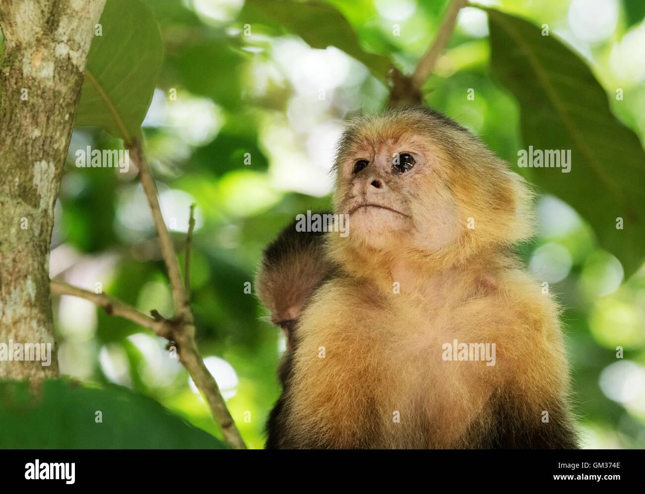 White faced capuchin monkey ( Cebus capucinus ),  Manuel Antonio National Park, Costa Rica, Central America Stock Photo