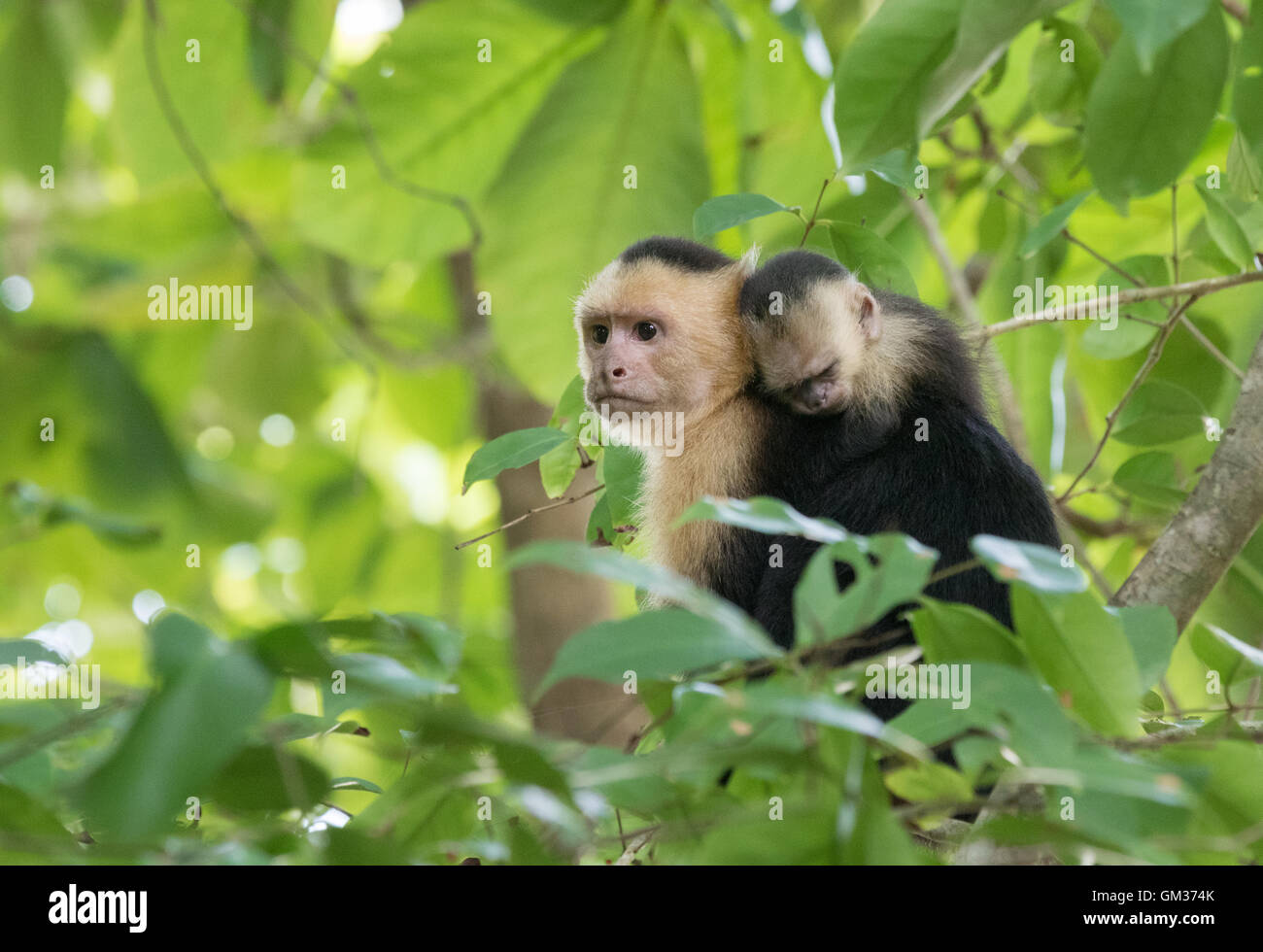 White faced capuchin monkey ( Cebus capucinus ) carrying a baby, Manuel Antonio national park, Costa Rica, Central Stock Photo