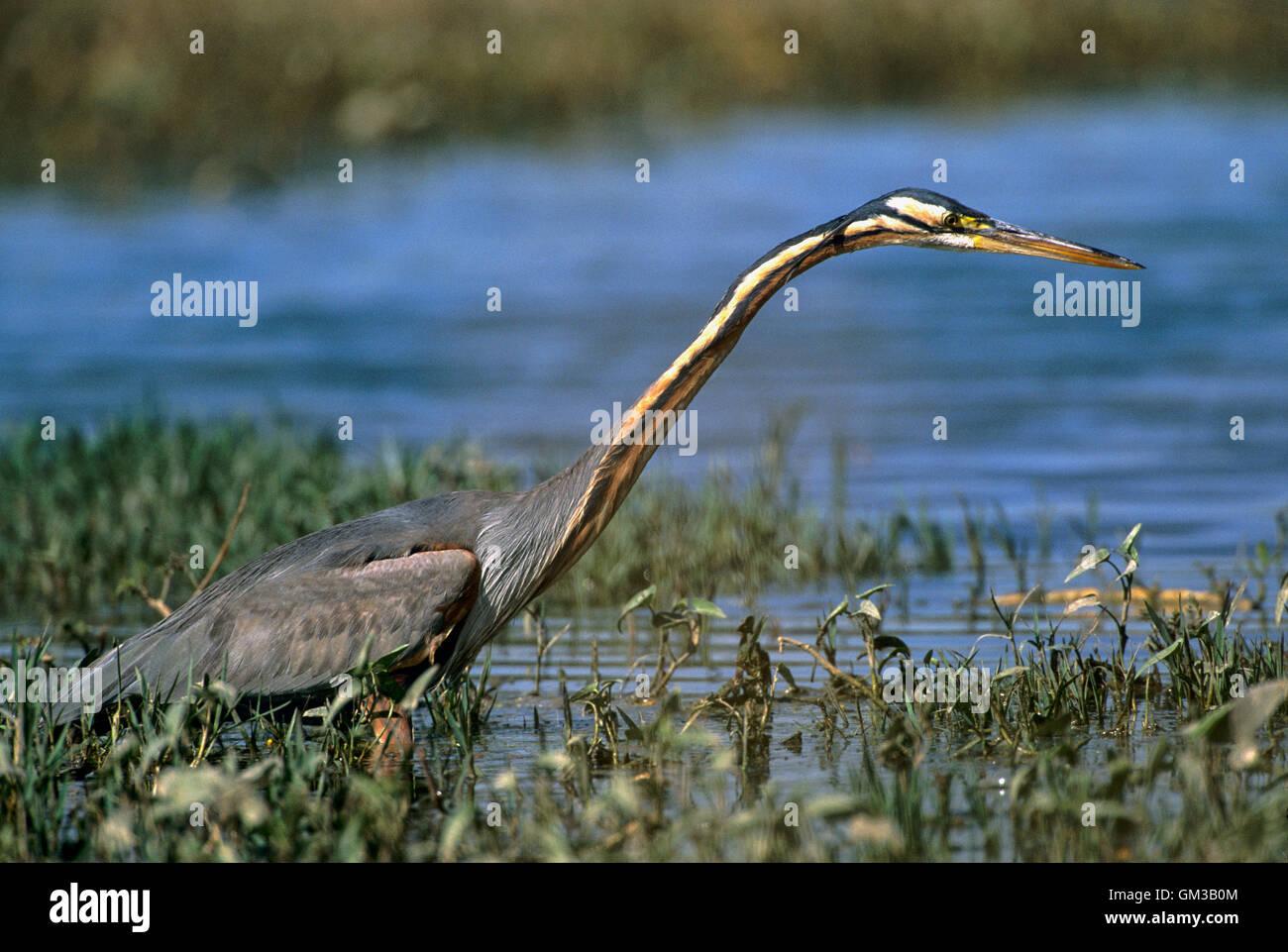 Purple Heron, Ardea purpurea, adult bird hunting for fish, Bharatpur, India - Stock Image