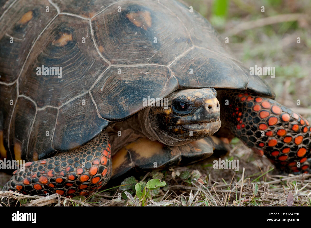 Red-legged tortoise (Chelonoidis carbonaria) in The Pantanal in Brazil - Stock Image
