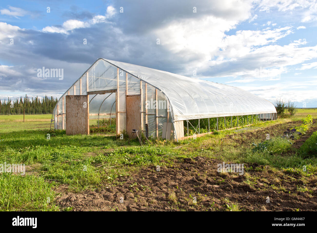 Tunnel, growing corn 'Zea mays' family farming. - Stock Image