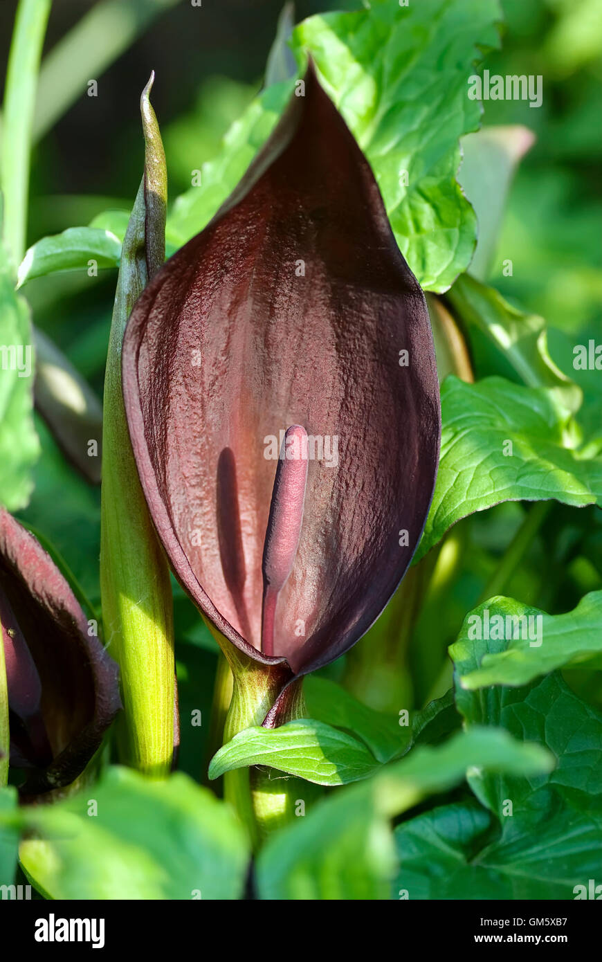 Arum purpureospathum inflorescence in Evening Sunshine - Stock Image