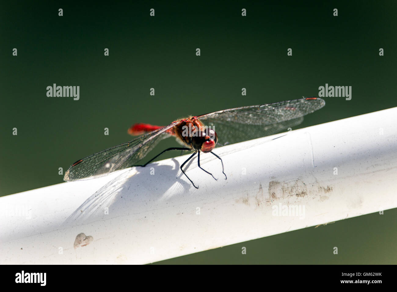 Belgrade, Serbia - Scarlet Dragonfly (Crocothemis erythraea) perched on a fishing boat fence Stock Photo