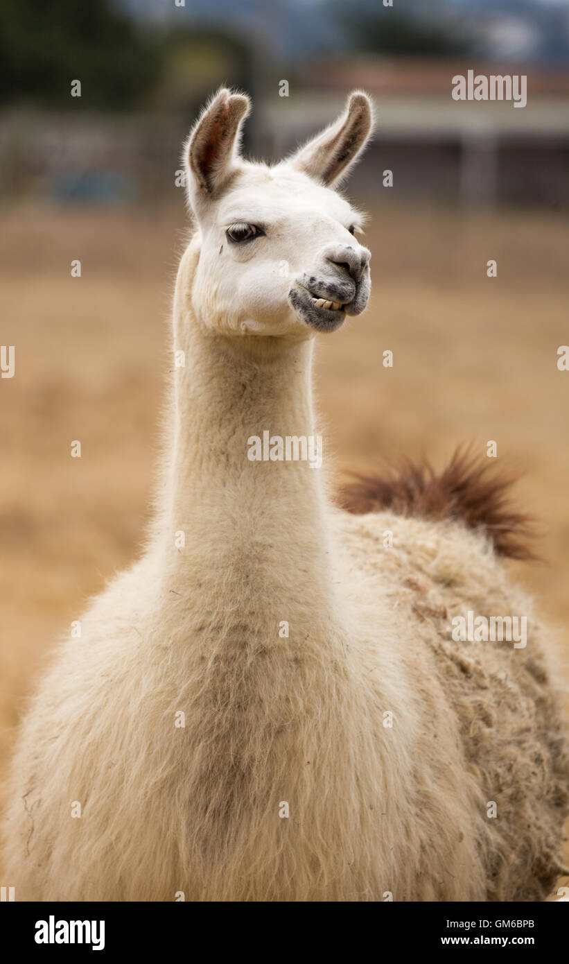 Domestic Llama front view Stock Photo